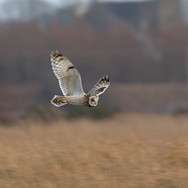 Short Eared Owl - 21090