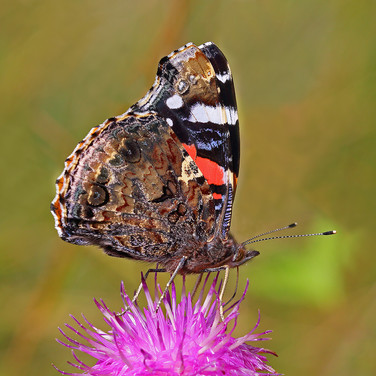 Red Admiral - 16770.jpg