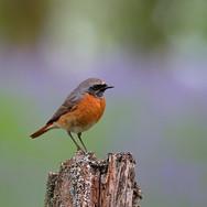Redstart - male - 006508.jpg