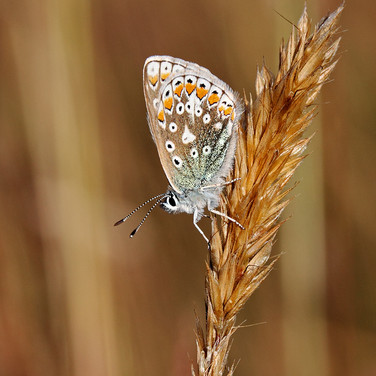 Common Blue Butterfly - female - 12321.j
