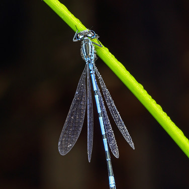Common Blue Damselfly - male - 14775.jpg