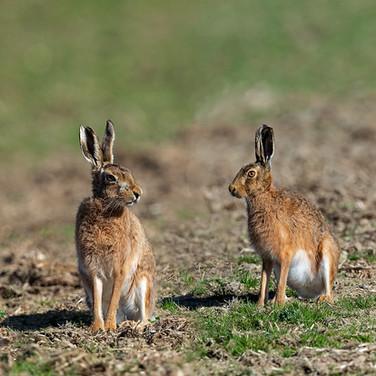Brown Hares - 06951-v1.jpg