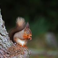 Red Squirrel - 33815.jpg