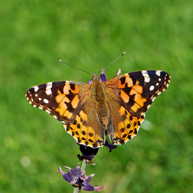 Painted Lady - 13016.jpg