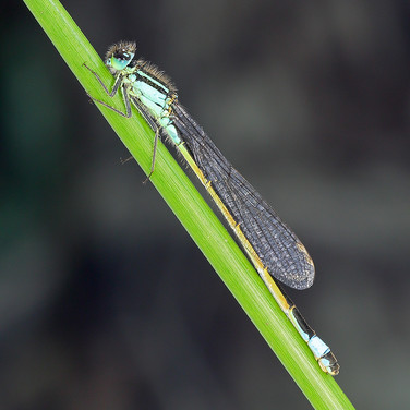 Blue-tailed Damselfly - 14840.jpg