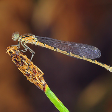 Common Blue Damselfly - female - 14796.j