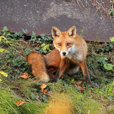 Urban Fox - 25479.jpg