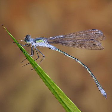 Emerald Damselfly - male - 16660.jpg