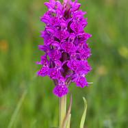 Northern Marsh Orchid - 13925.jpg