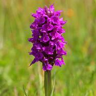 Northern Marsh Orchid - 25033.jpg