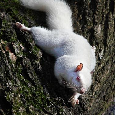 Albino Grey Squirrel - 16035.jpg
