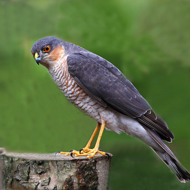 Sparrow Hawk - male - 21075.jpg