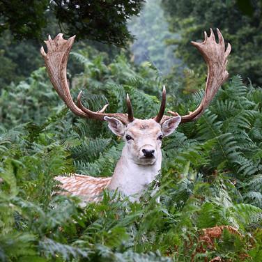 Fallow Deer Stag - 6805.jpg