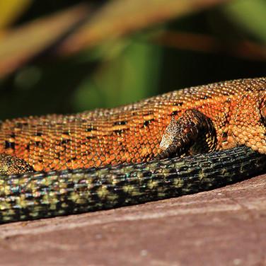 Common Lizard - 17439.jpg