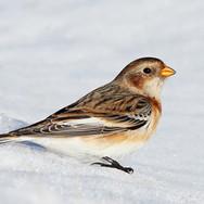 Snow Bunting - 5404.jpg