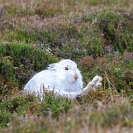 Mountain Hare - 18772.jpg
