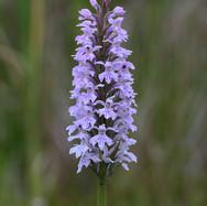 Northern Marsh Orchid - 14732.jpg