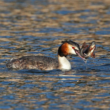 Great Crested Grebe with fish - 6316.jpg