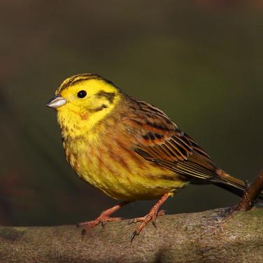 Yellow Hammer - male - 18619.jpg