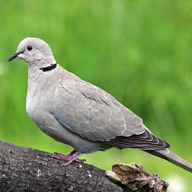Collared Dove - 0173.jpg