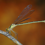 Emerald Damselfly - female - 16675.jpg