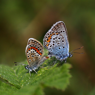 Silver-studded Blues mating - 5286.jpg