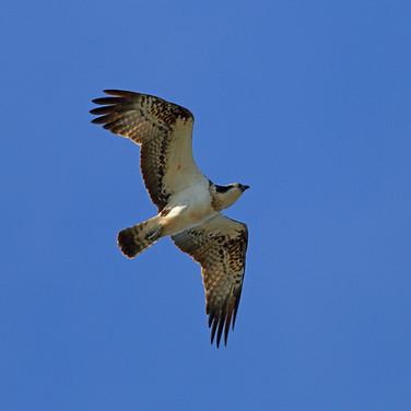 Osprey - 20725.jpg