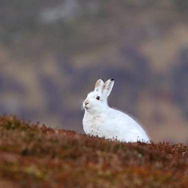 Mountain Hare - 19096.jpg