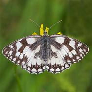 Marbled White - 15149.jpg