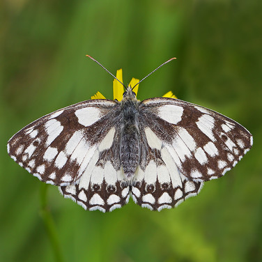Marbled White - 15149.jpg