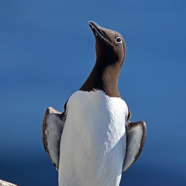 Spectacled Guillemot - 24824.jpg
