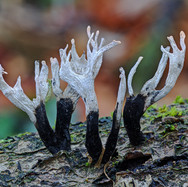 Candle-snuff Fungus - 10536_7_8_fused.jp