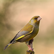 Greenfinch - male - 22596.jpg