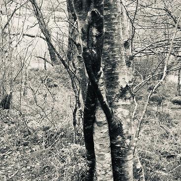 Cailleach Tree silver.jpg
