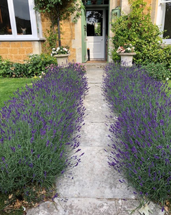 Lavender at the front