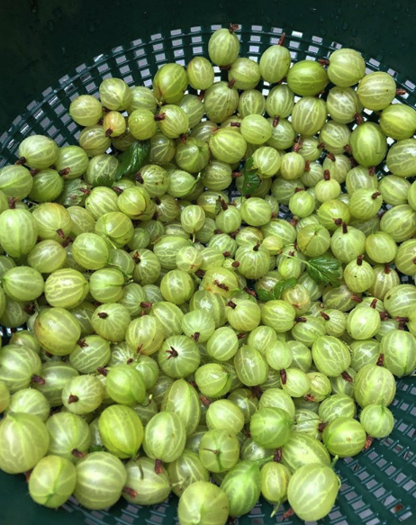 Gooseberries from the garden