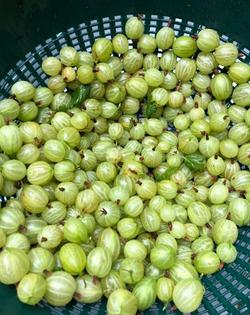 Gooseberries from the garden