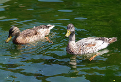 Ducks on Cary's Horsepond