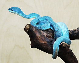 голуб куфия4.jpg