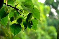 Sacred Bodhi Leaf.jpg