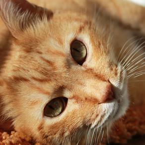 דלקת עיניים אצל חתולים