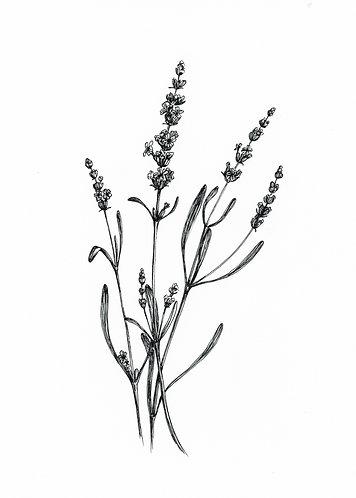 """""""Lavender"""" digital png illustration"""