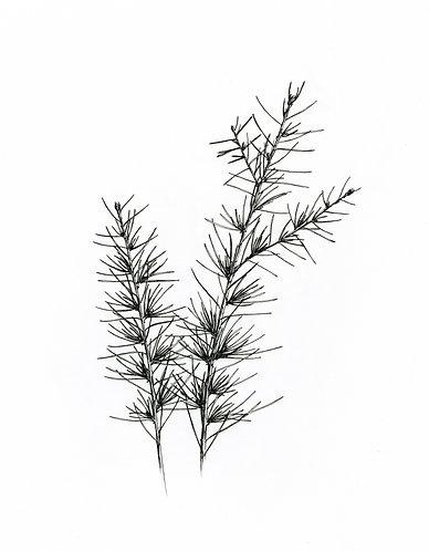"""Pine Branch"" digital handdrawn png illustration"