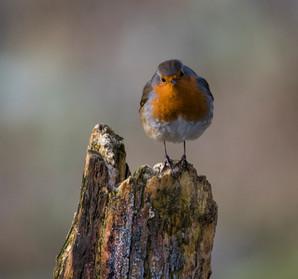 'Robin' by Rosaline (Lynn) Hughes