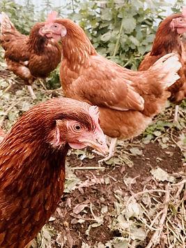 chickens australian chicks free range chickens
