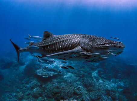โอ้วมายกู๊ดเนส! เรียนดำน้ำครั้งแรก ก็เจอฉลามวาฬเข้าซะแล้ว.....