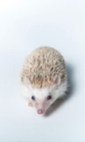 Hedgehog High Res.jpg
