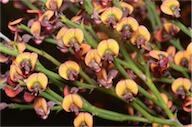 Daviesia brevifolia