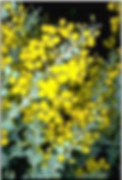 acacia+flower.jpg