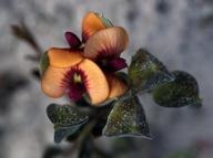 Daviesia_alterniflora